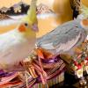 18年「ヒナ」祭り